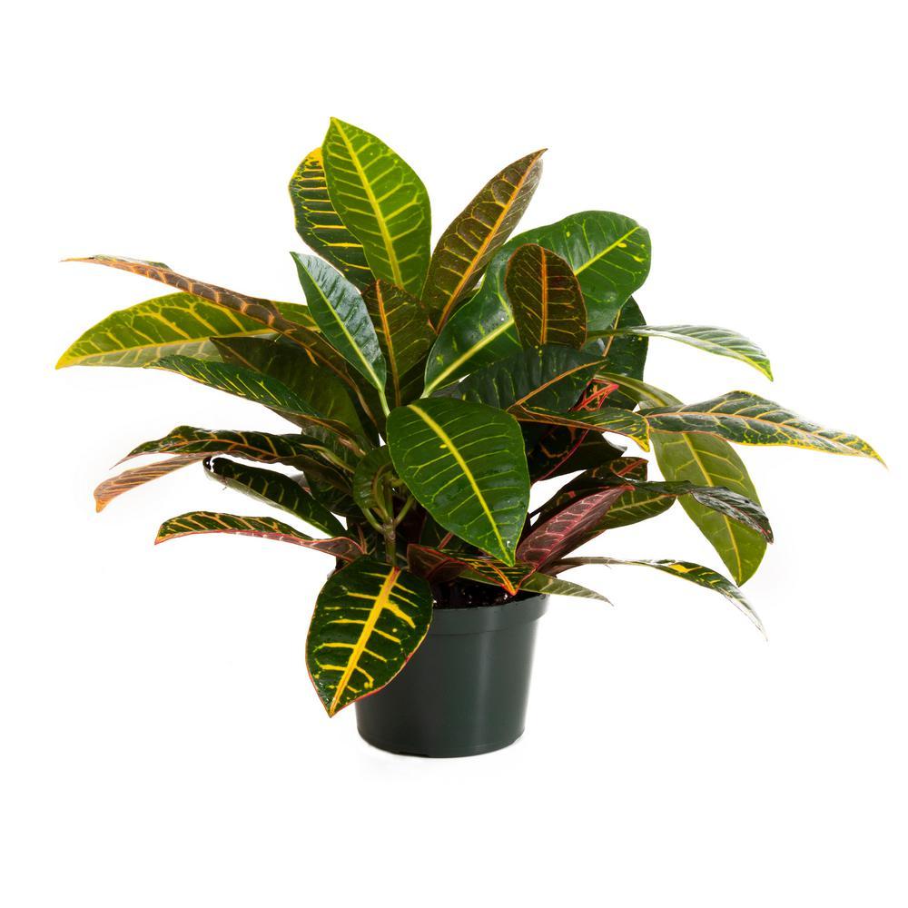 Croton Petra in 6 in. Grower Pot