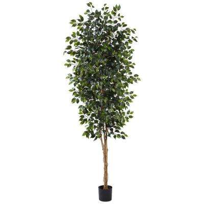 8 ft. Ficus Tree