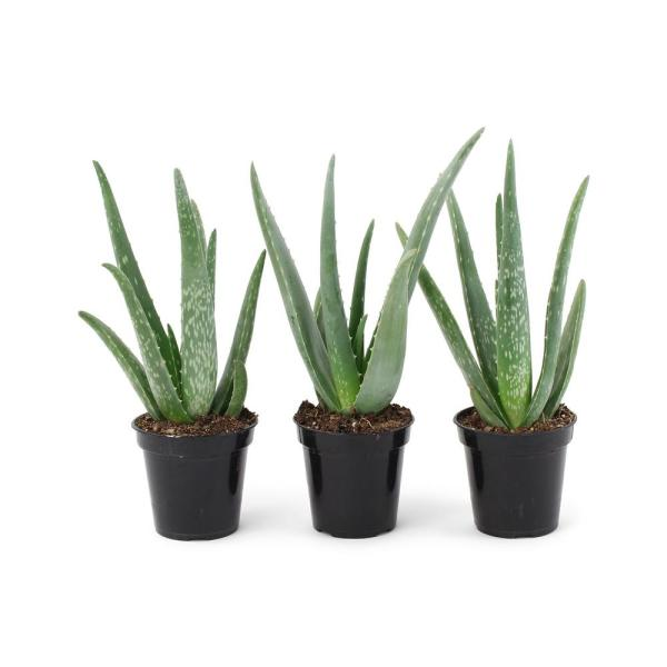 11 Oz. Succulent Aloe Vera Plant in 3.5 In. Grower's Pot (3-Plants)