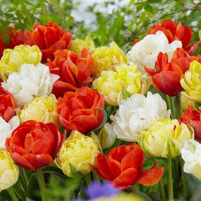 Double Late Tulip Mix Flower Bulb (8-Pack)