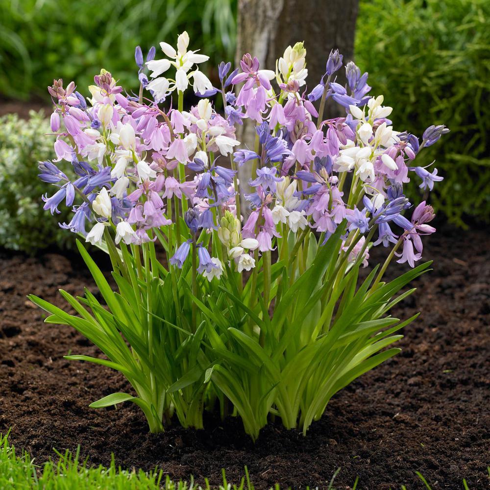 15 perennial flower bulbs garden plants flowers the home depot scilla campanulata mix bulbs 25 pack mightylinksfo