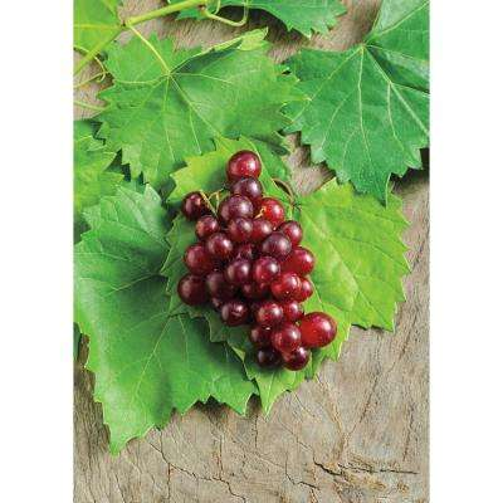 4 in  Pot, RazzMatazz Muscadine Grape (Vitis), Live Deciduous Plant,  Seedless Grape Vine (1-Pack)