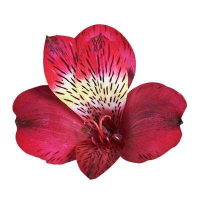 Fresh Red Alstroemeria Flowers (80 Stems - 320 Blooms)