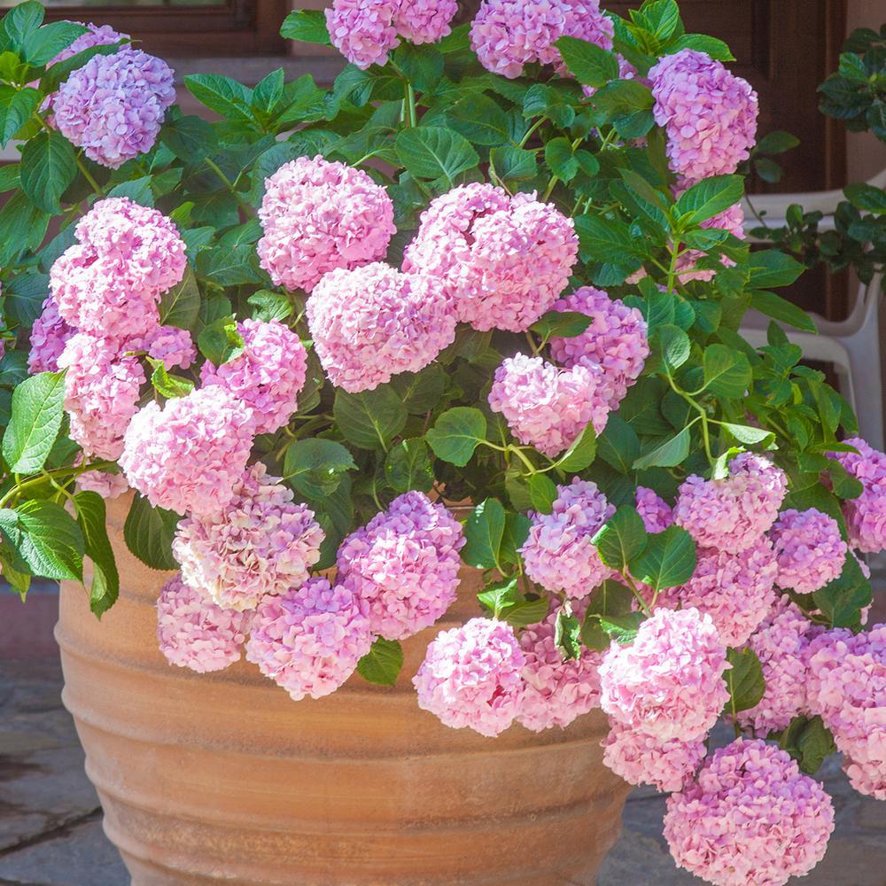 Van Zyverden Hydrangea Pink Beauty Root Stock 1 Set 83547 The