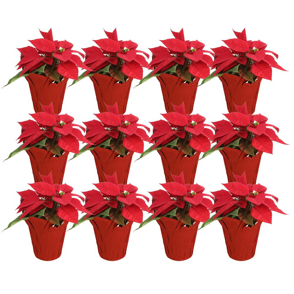 Costa Farms 1 Pt. Fresh Red Poinsettia with Red Pot Cover (Live 12-Pack)