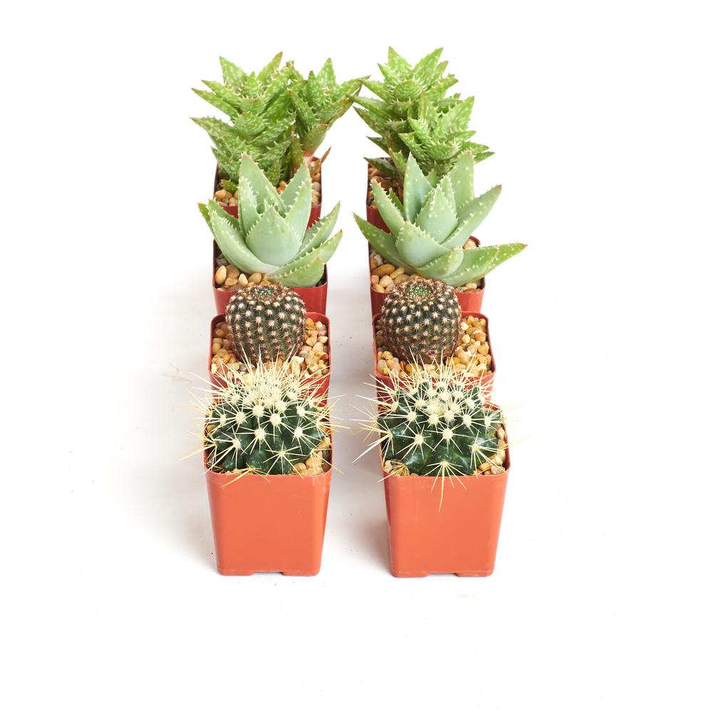 Home Botanicals Hardy Cacti And Succulent Plants 8 Pack 8 Har
