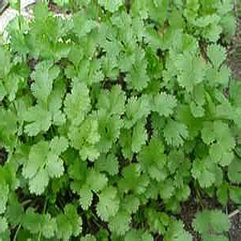 OnlinePlantCenter 3.5 in. Cilantro or Coriander Culinary Herb Plant