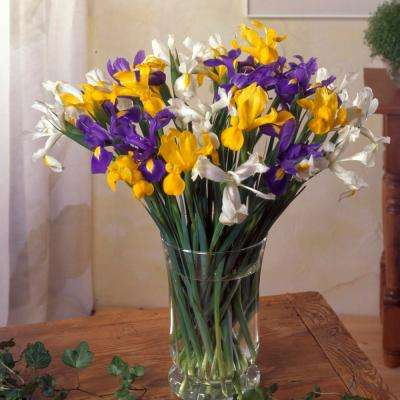 Dutch Iris Mixed Bulbs Mammoth (Set of 25)