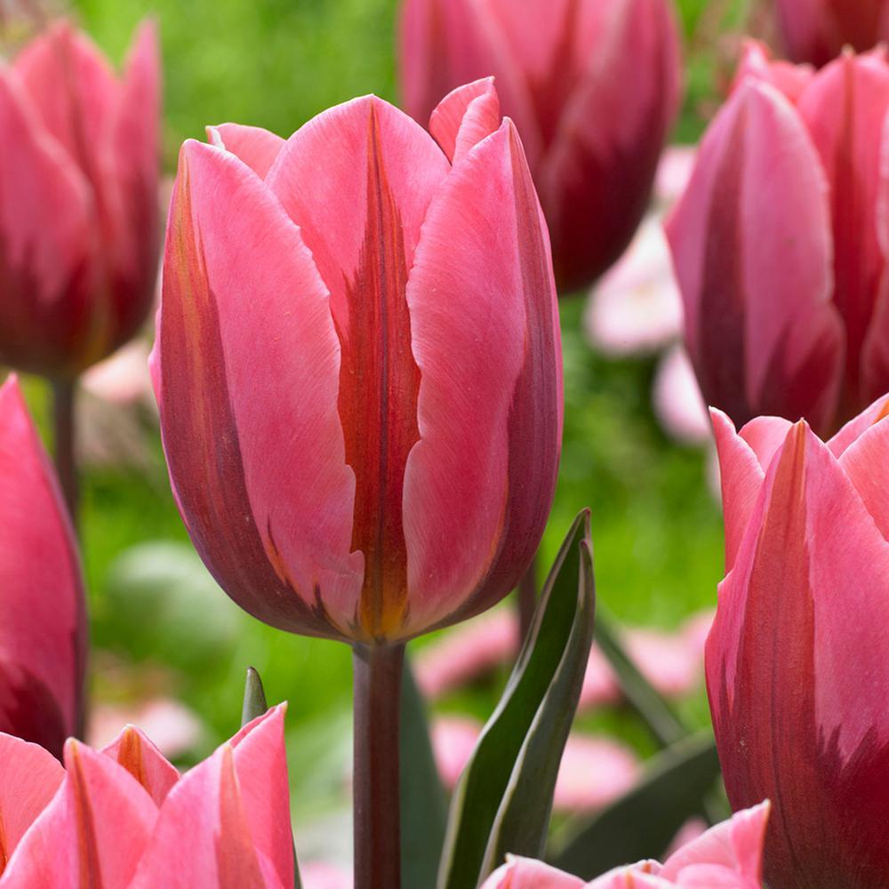 Van zyverden tulips bulbs pretty princess set of 12 87003 the van zyverden tulips bulbs pretty princess set of 12 mightylinksfo