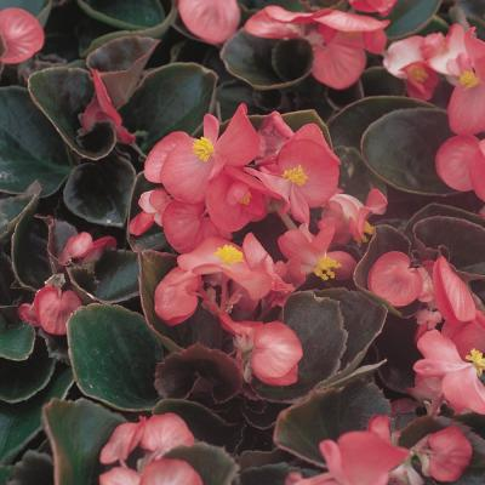 1.38-Pint Bronze Leaf Pink Begonia Plant