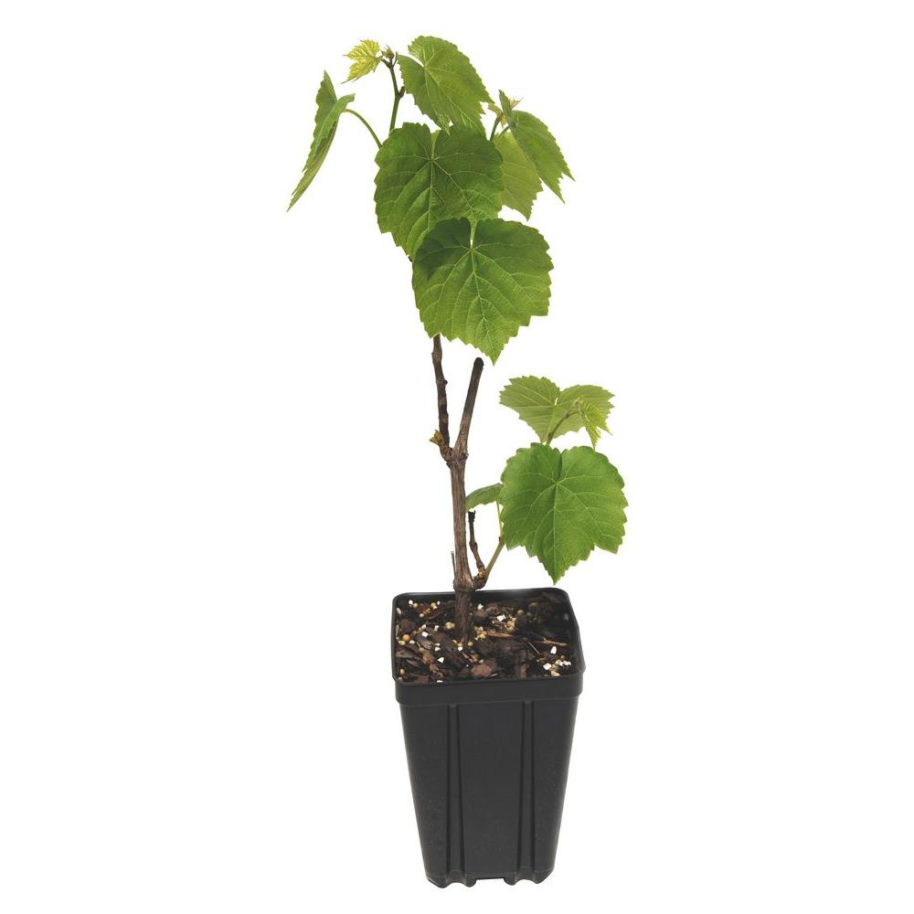 Sweet Berry Selections Himrod Grape Fruit Bearing Potted Vine
