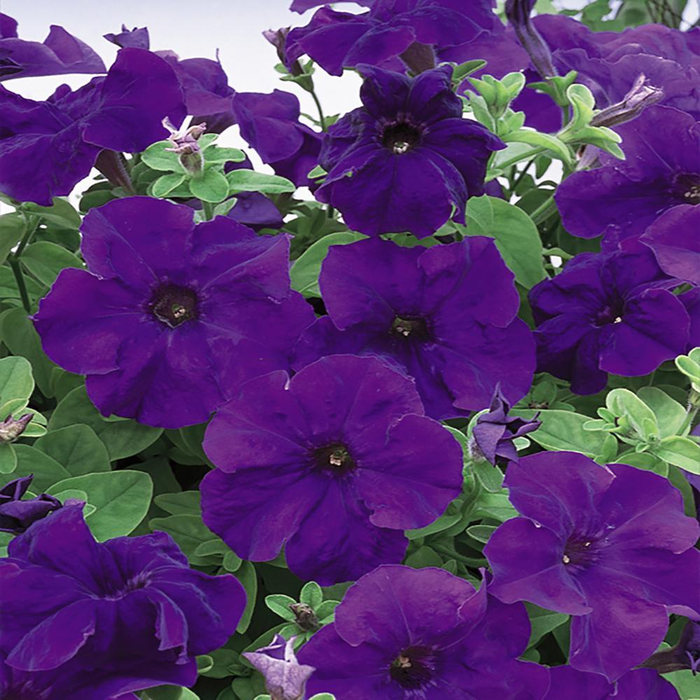 1.25 Gal. Blue Petunia Hanging Basket Plant