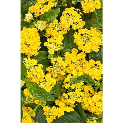 4-Pack, 4.25 in. Grande Luscious Bananarama (Lantana) Live Plant, Yellow Flowers