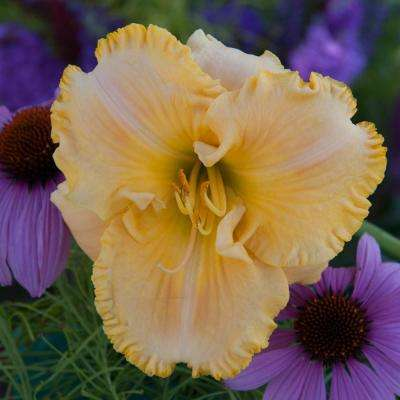 Collier Reblooming Daylily (Hemerocallis), Pink, Gold, and Yellow Flowering Perennial Live Bareroot Plant (1-Pack)