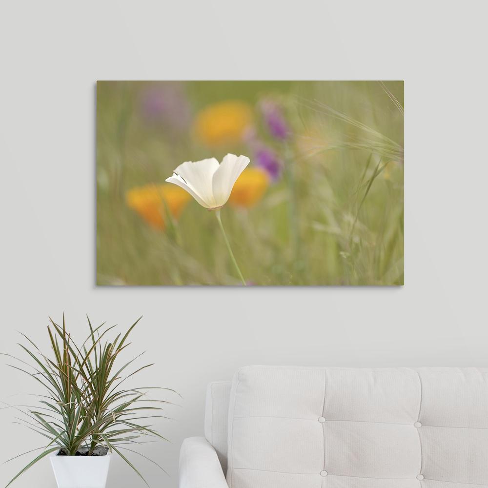 Greatbigcanvas 30 In X 20 In White Poppy In Green Field By Mike