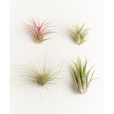 Assorted Air Plant (4-Pack)