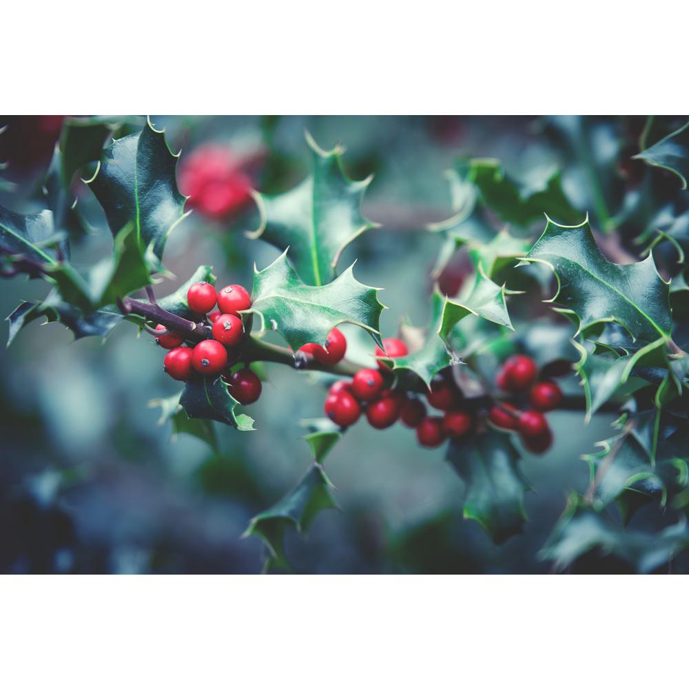 Online Orchards 1 Gal Red Beauty Holly Shrub Symmetrical