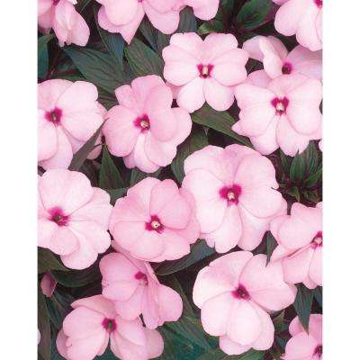 Infinity Pink (New Guinea Impatiens) Live Plant, Pink Flowers, 4.25 in. Grande, 4-pack