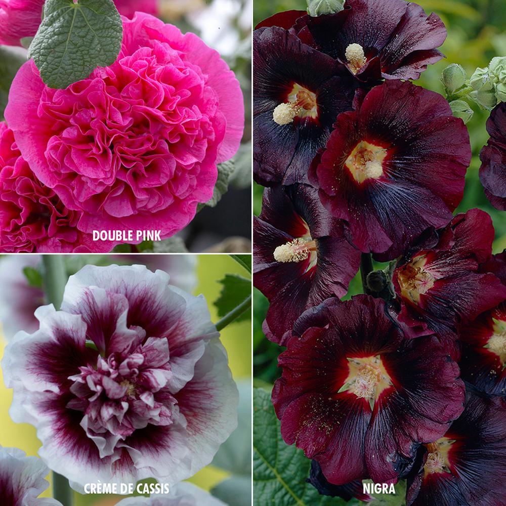 Mixed Varieties Hollyhocks Roots (15-Pack)