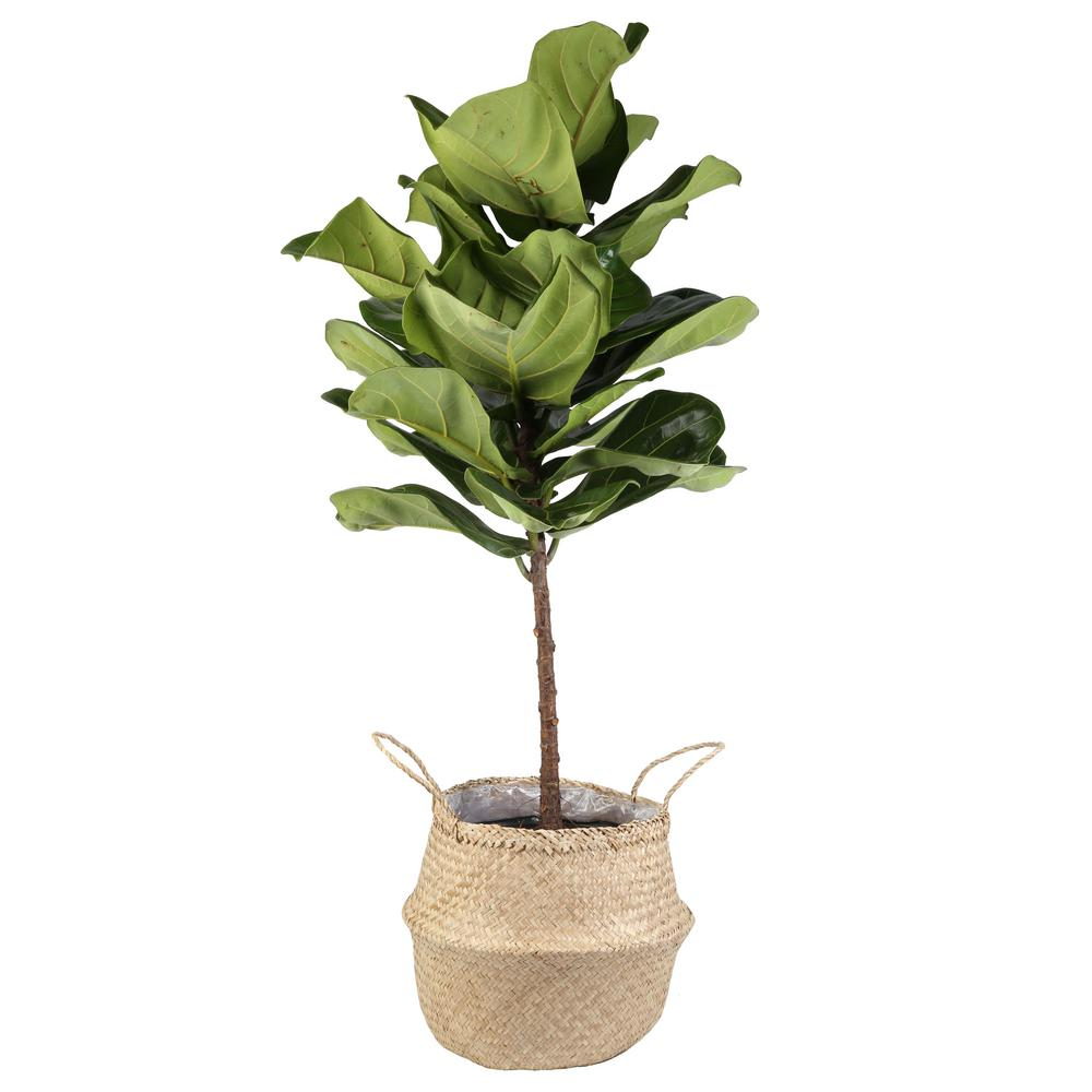 Costa Farms Ficus Lyrata Fiddle-Leaf Fig Standard Tree Floor Plant in 9.25 in. Grower Pot in Seagrass Natural Basket