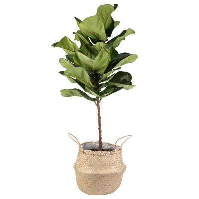 Ficus Lyrata Fiddle Leaf Fig Standard Tree Floor Plant In 9 25 Grower Pot
