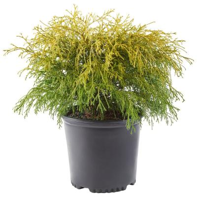 2.25 Gal. Gold Mop Cypress Shrub with Golden Foliage