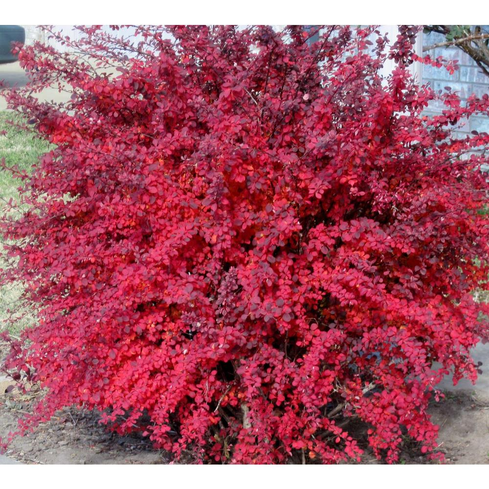 Online Orchards 1 Gal Rose Glow Barberry Shrub Deep Purple
