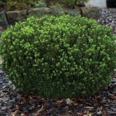 2.5 Qt. Boxwood Baby Gem
