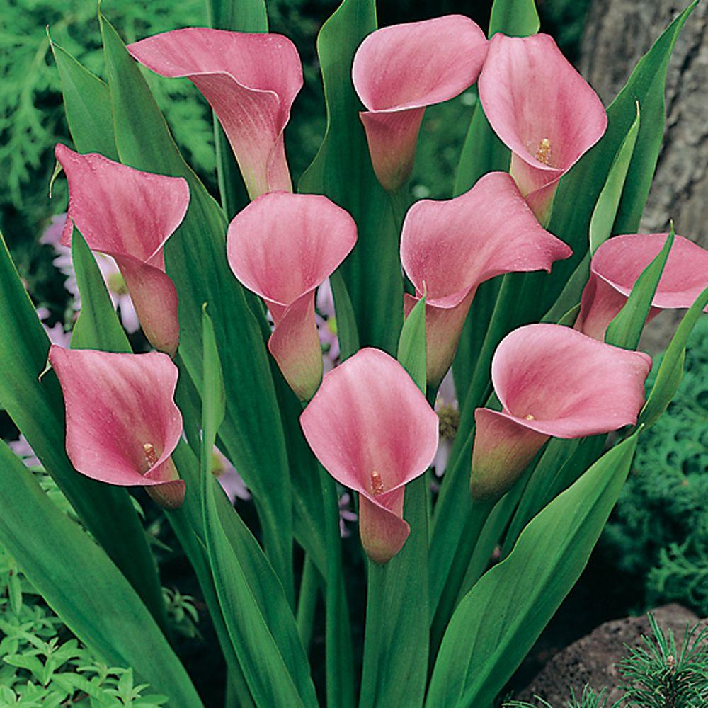 null Calla Lily Pink Dormant Bulbs (9-Pack)-DISCONTINUED