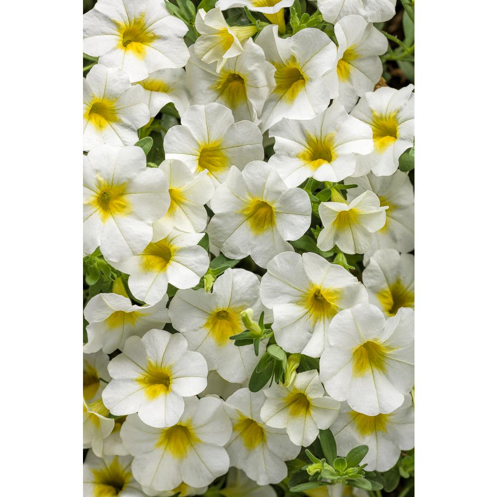 Proven Winners Superbells Over Easy Calibrachoa Live Plant White