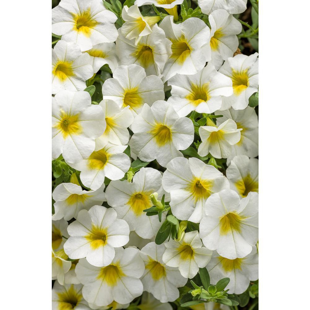 4-pack, 4.25 in. Grande Superbells Over Easy (Calibrachoa) Live Plant White & Yellow Flowers