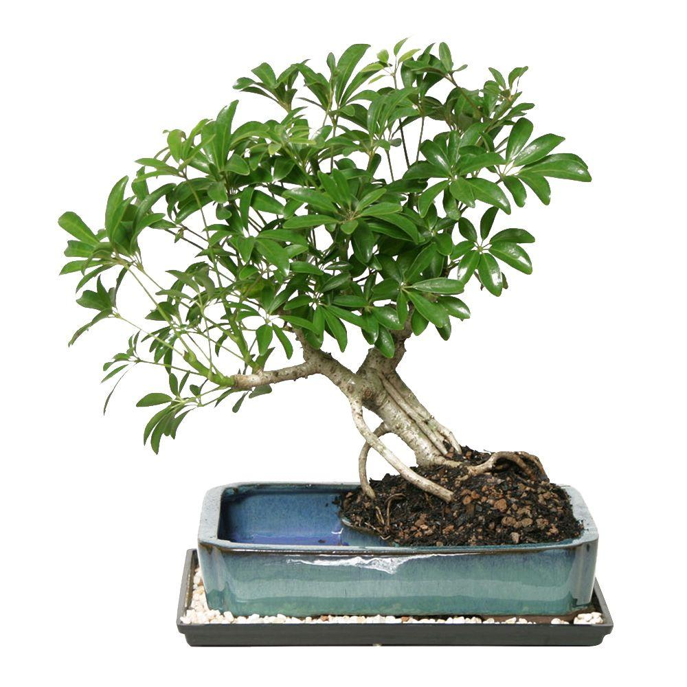 Brussel's Bonsai Dwarf Hawaiian Umbrella Bonsai in Water Pot