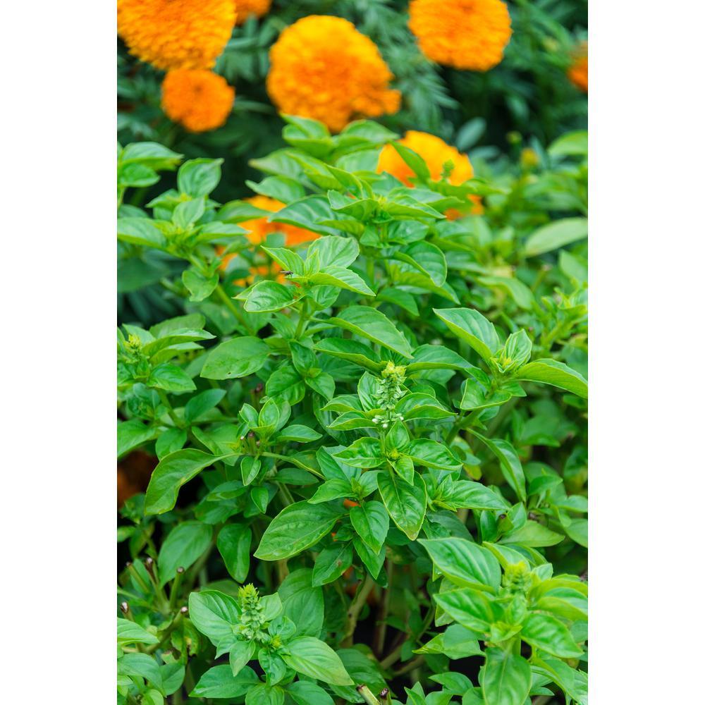 Herb Basil British Genovese (150 Seed Packet)