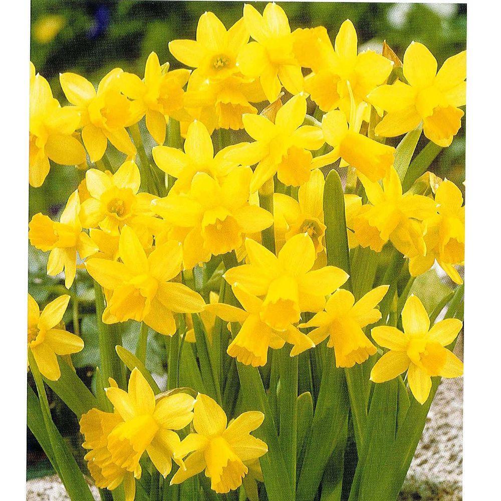 null Daffodil Tete A Tete Dormant Bulbs (20-Pack)