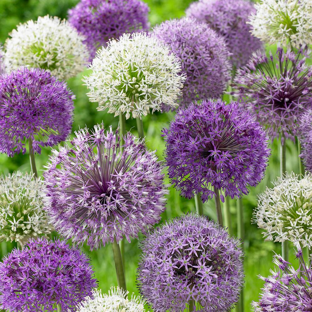 Allium Blend Set Of 12