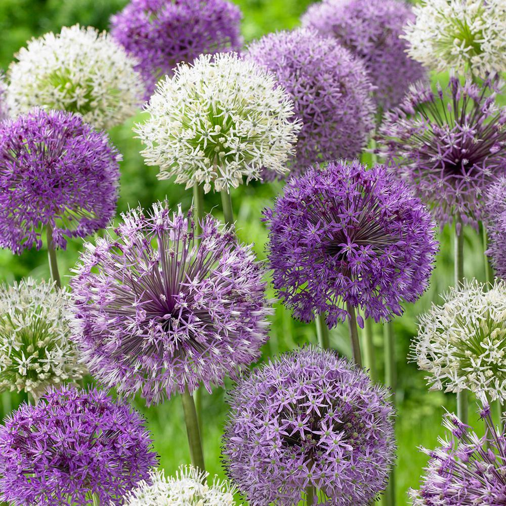 Allium Blend (Set of 12)