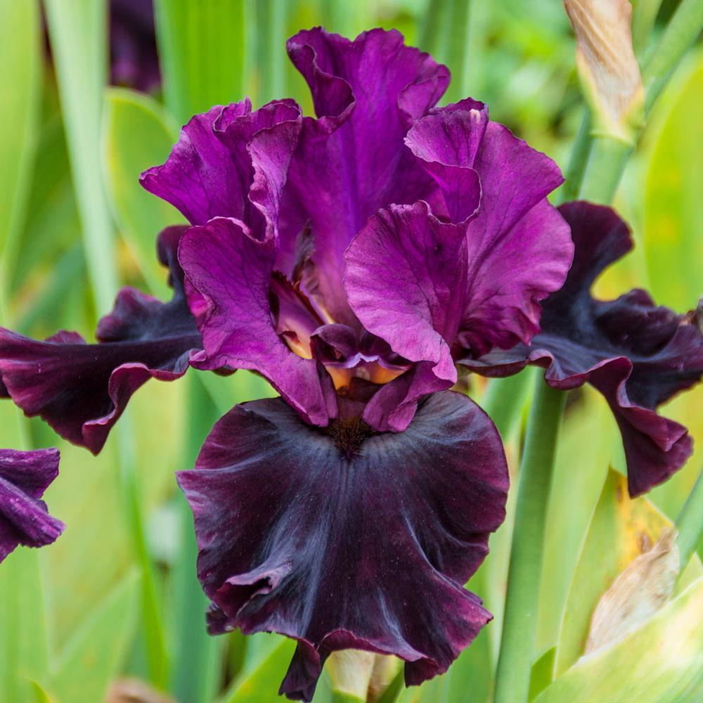 Silken Trim Bearded Iris Live Bareoot Plant Purple Flowers