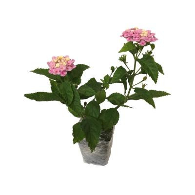 Lantana Mix 3-Plants in 3-Separate 2.25 in. Pots
