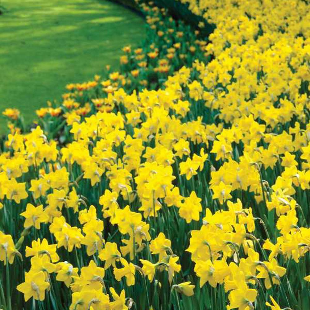 Golden Harvest Trumpet Daffodil Bulbs 100-Pack