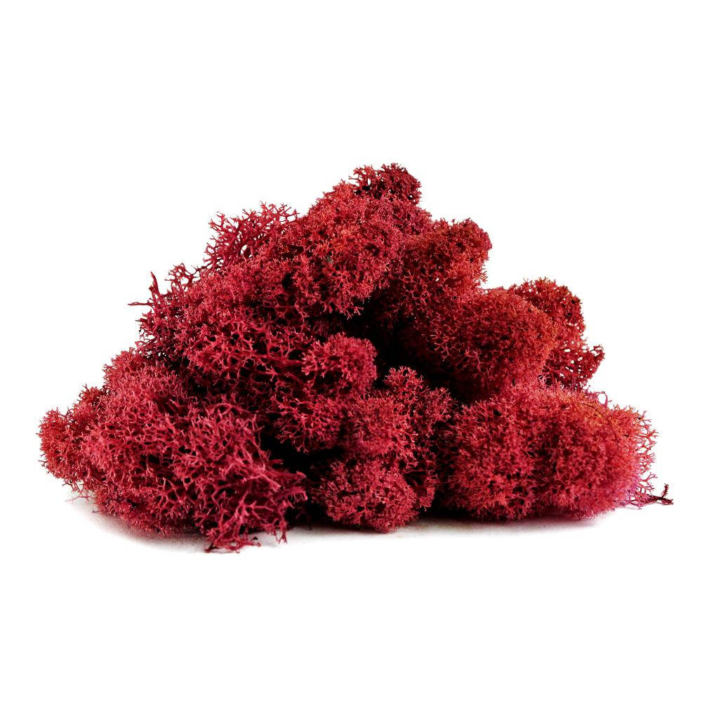 shop succulents reindeer moss red rm3red the home depot