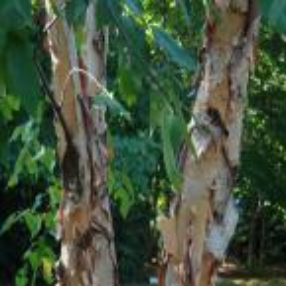 5 gal. River Birch Tree