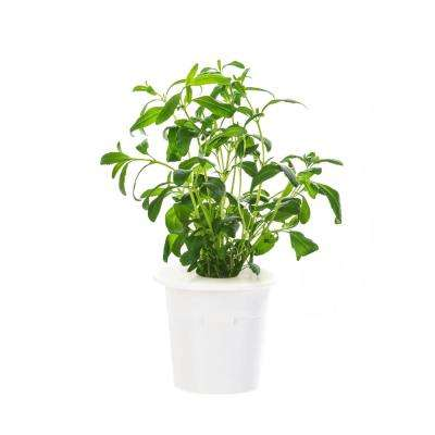 Hyssop Refill (3-Pack) for Smart Herb Garden