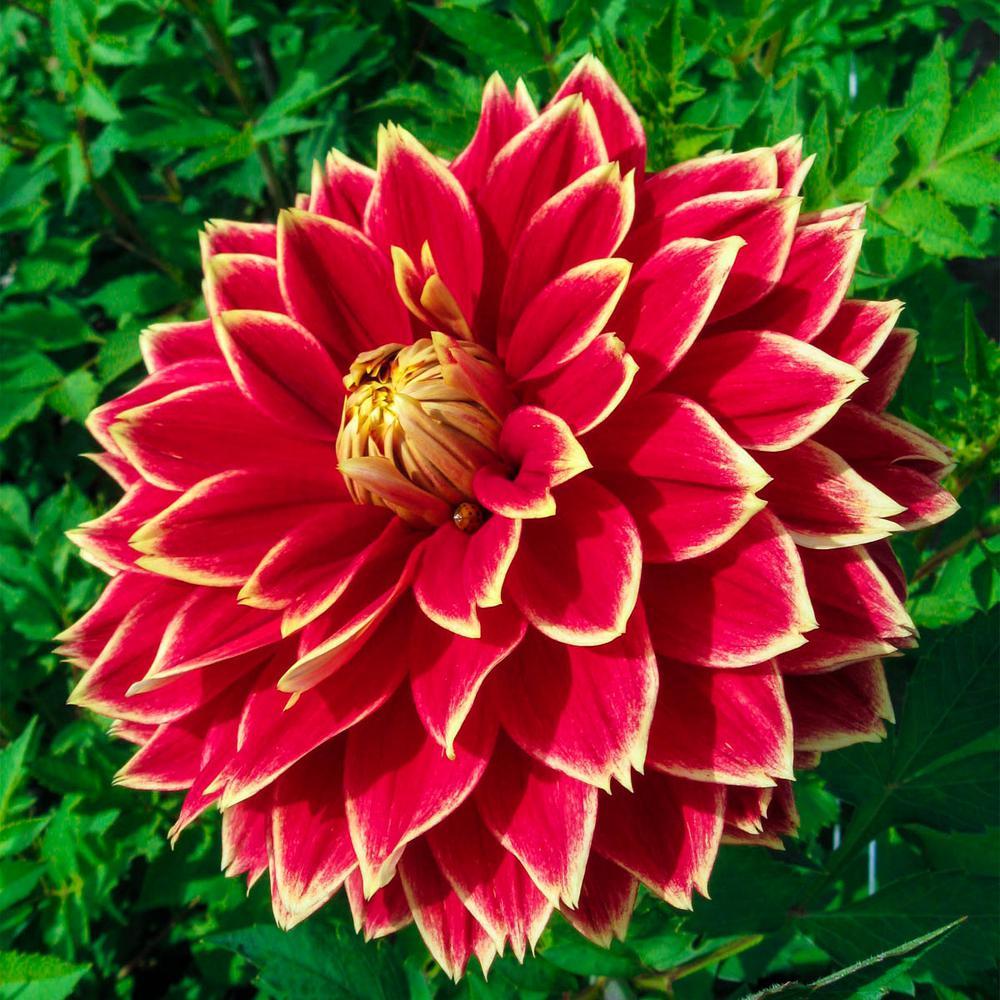 Breck S Multi Color Flowers Decorative Dahlia Bulb Mixture 5 Pack