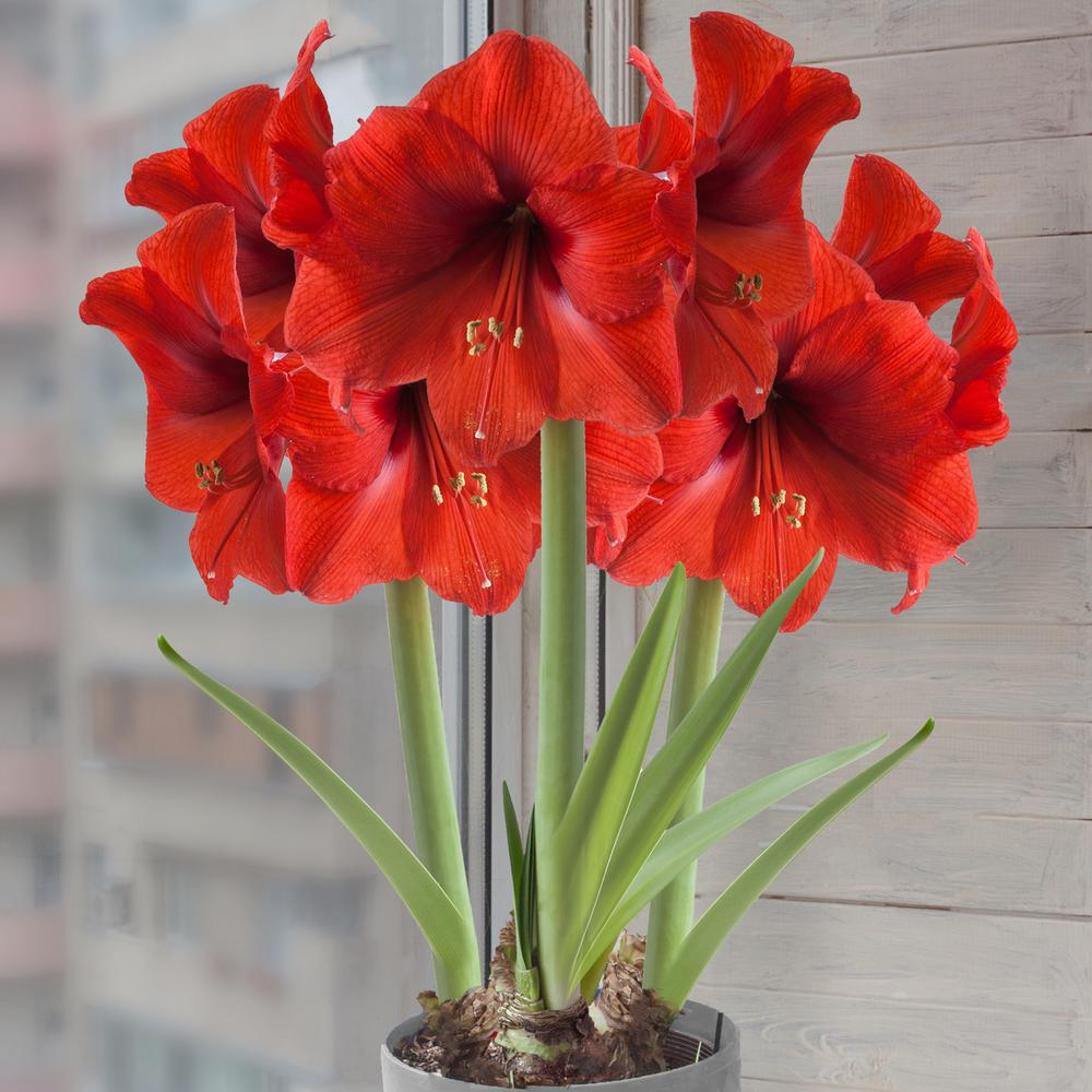Garden State Bulb Amaryllis Red Lion Mammoth Bulb Hoh17 09