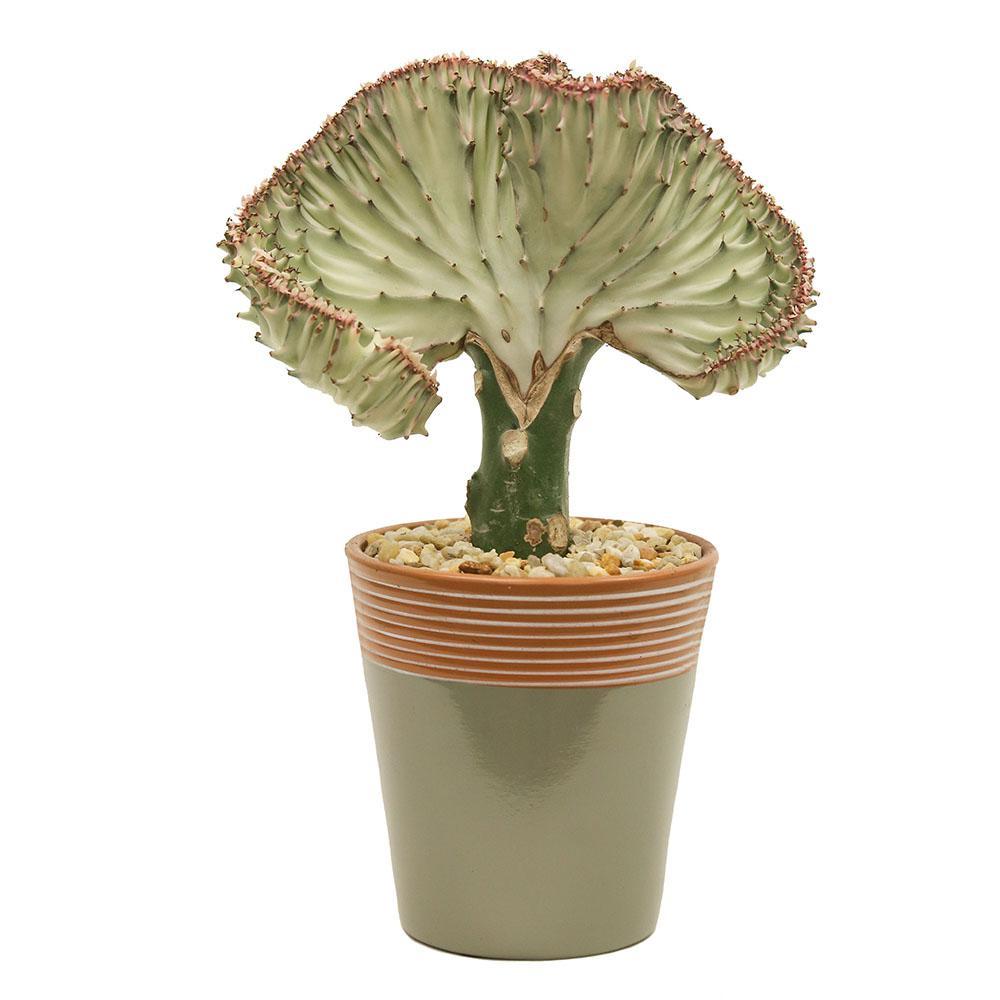 Crested Euphorbia in 5 in. Simple Elegance Laurel Oak Ceramic