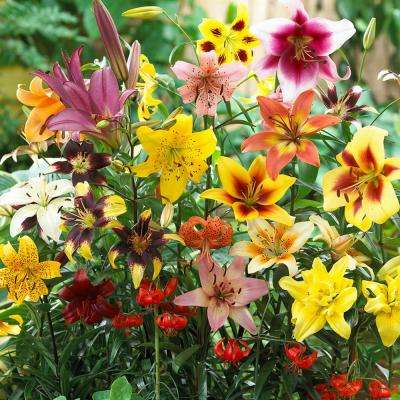 Non-Stop Blooming Blend Lily Bulbs (25-Pack)