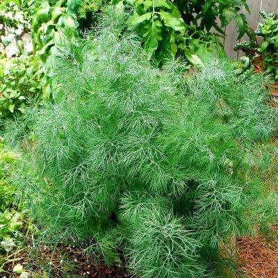 Dill Plant Herb Plants Edible Garden The Home Depot