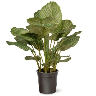 30 in. Garden Accents Calathea Plant
