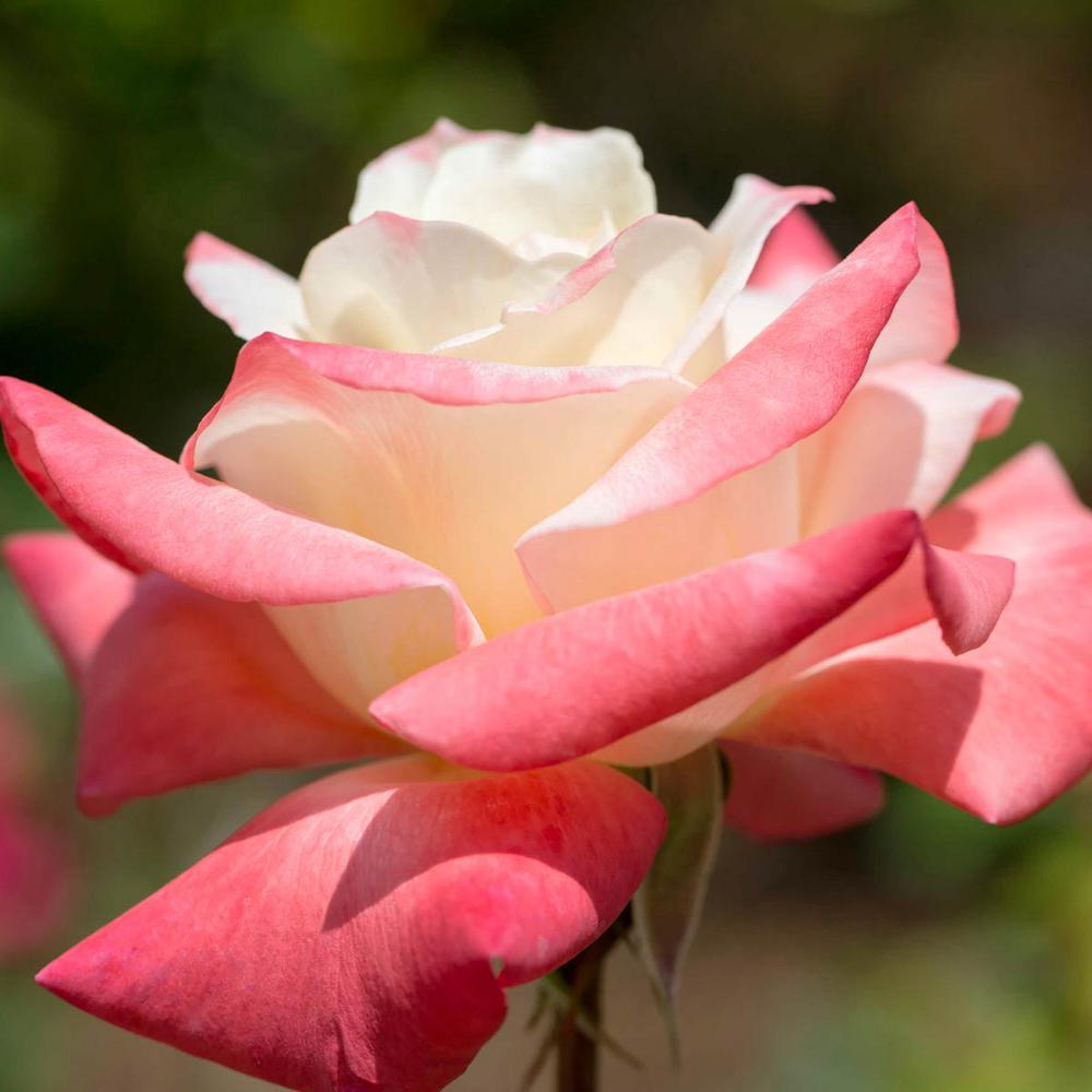 Gemini Hybrid Tea Rose, Live Bareroot Plant, Pink Color Flowers (1-Pack)