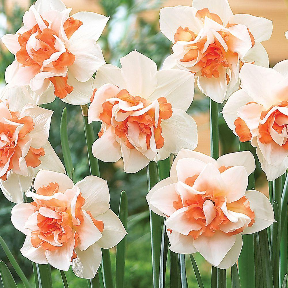 Martha Stewart Living Narcissus Replete Dormant Bulbs (50-Pack)